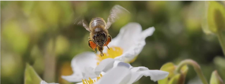 Foto-apicultura-Calier